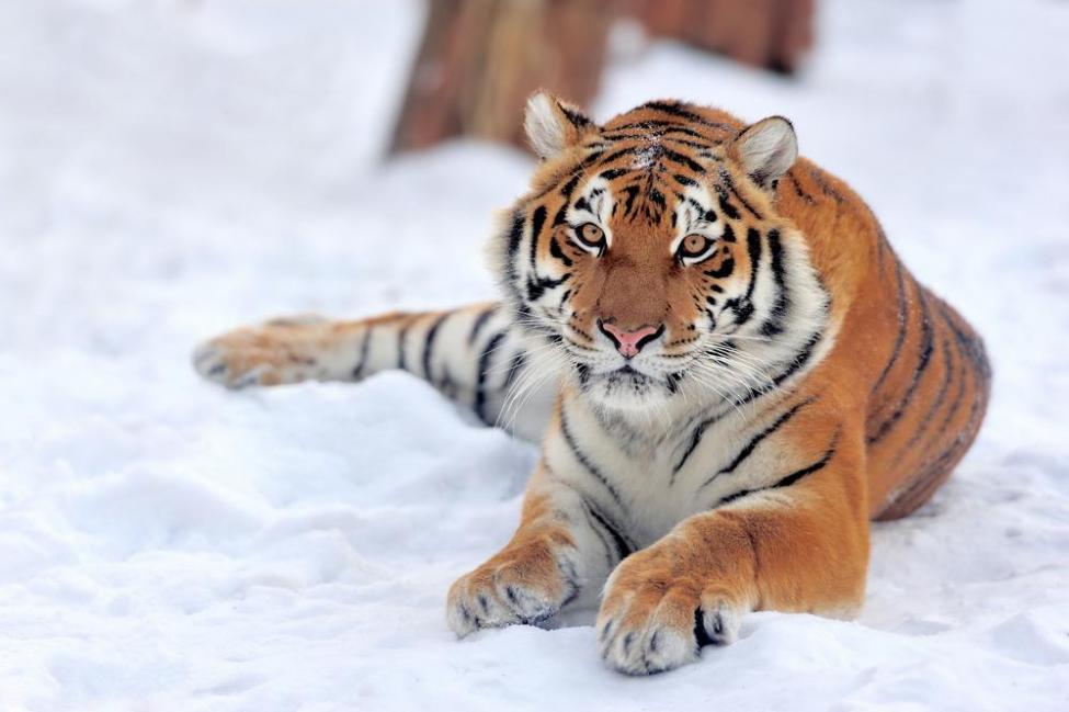 Tigre de Amur. Fuente: Google Search imágenes.